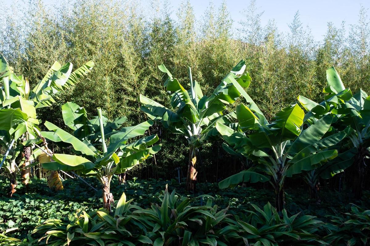 24 Our Madeira Casa Do Feitor Banana Trees