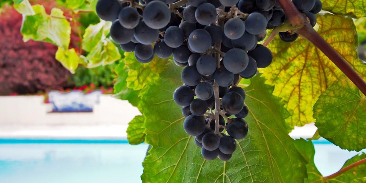 24 Our Madeira Casa Das Vinahs Grapes